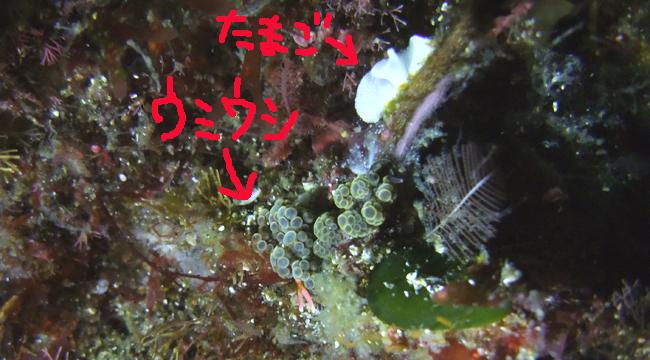 20160709伊豆 ダイビング 伊豆海洋公園 ドト・ラケモサ
