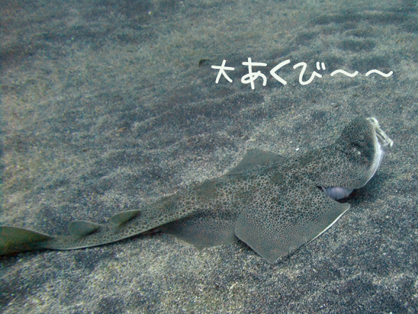 20170506伊豆 ダイビング 伊豆海洋公園 カスザメ