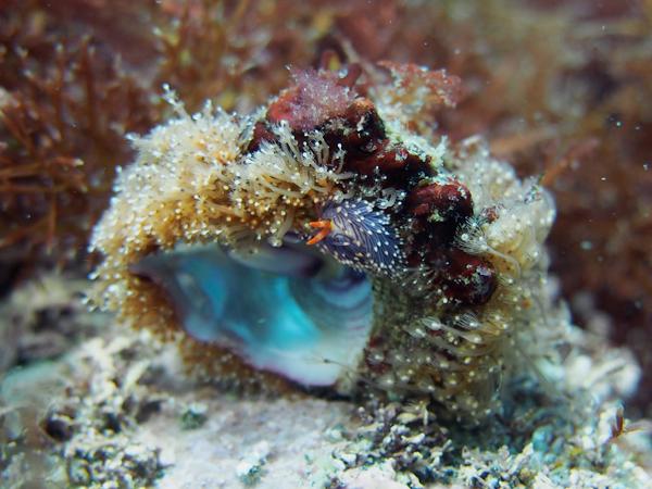 20170603伊豆 ダイビング 伊豆海洋公園 ムラサキミノウミウシ