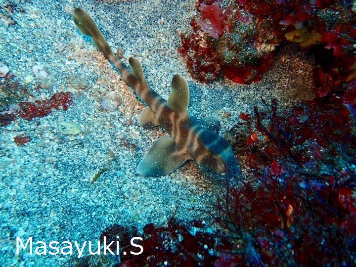 20180407伊豆 ダイビング 伊豆海洋公園 ネコザメ