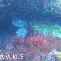 20180414伊豆 ダイビング 伊豆海洋公園 アオウミガメ
