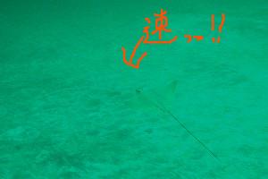 140309伊豆 海洋公園トビエイ幼魚