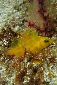 140309伊豆 海洋公園オキゴンベ幼魚