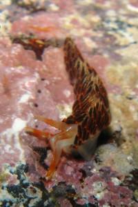 140406伊豆 海洋公園フタスジミノウミウシ