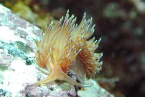 140408伊豆 海洋公園セトミノウミウシ
