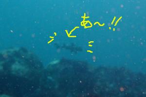 140504伊豆 海洋公園ネコザメ