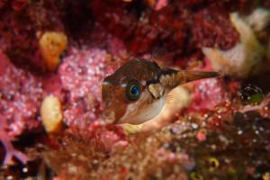 140505伊豆 海洋公園キタマクラ幼魚