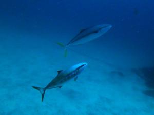 20140728伊豆 海洋公園 ブリ