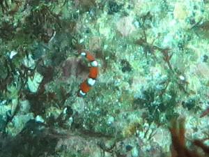 140803伊豆 海洋公園ツユベラ幼魚
