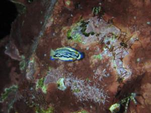 140803伊豆 海洋公園 リュウモンイロウミウシ