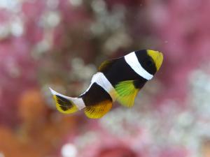 141019伊豆 海洋公園 クマノミ幼魚