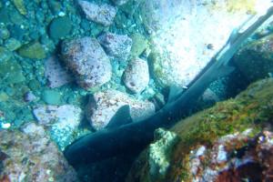 20140318伊豆 ダイビング 伊豆海洋公園 ドチザメ