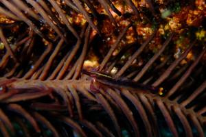 20150326伊豆 ダイビング 伊豆海洋公園 ウミシダヤドリエビ