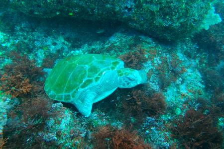 20150417伊豆 ダイビング 伊豆海洋公園 ブリマチの根 アオウミガメ