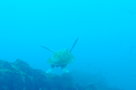 20150417伊豆 ダイビング 伊豆海洋公園 ブリマチの根 アオウミガメ2