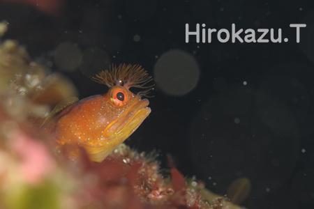 20150423伊豆 ダイビング 伊豆海洋公園 シズミイソコケギンポ