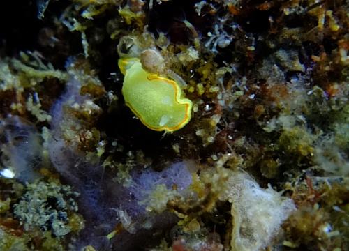 20150527伊豆 ダイビング 伊豆海洋公園 ミツイラメリウミウシ