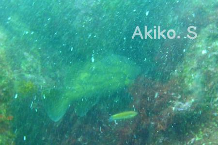 20150502伊豆 ダイビング 伊豆海洋公園クエ