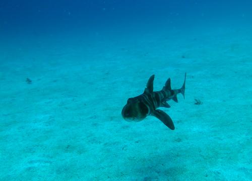 20150526伊豆 ダイビング 伊豆海洋公園 ネコザメ
