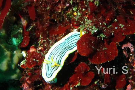 20150502伊豆 ダイビング 伊豆海洋公園クロスジウミウシ