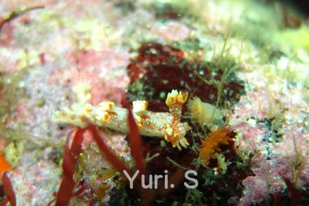20150502伊豆 ダイビング 伊豆海洋公園ユビウミウシ
