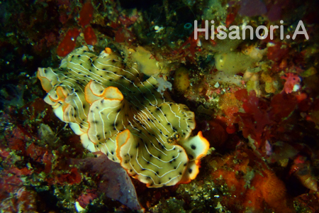 20150505伊豆 ダイビング 伊豆海洋公園ホソジマオトメウミウシ