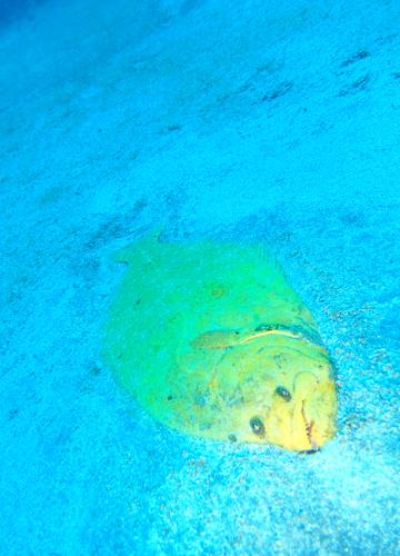 20150526伊豆 ダイビング 伊豆海洋公園 黄金ヒラメ