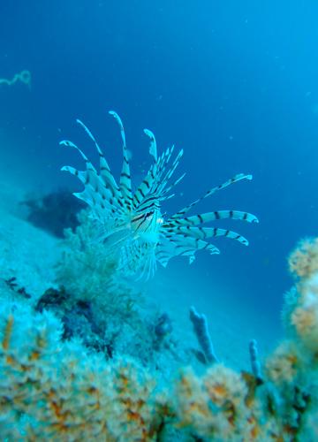 20150527伊豆 ダイビング 伊豆海洋公園 ミノカサゴ