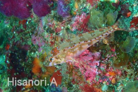 20150505伊豆 ダイビング 伊豆海洋公園アナハゼ属の一種