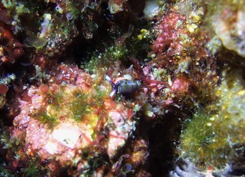 20160111伊豆 ダイビング 伊豆海洋公園 チゴミドリガイ