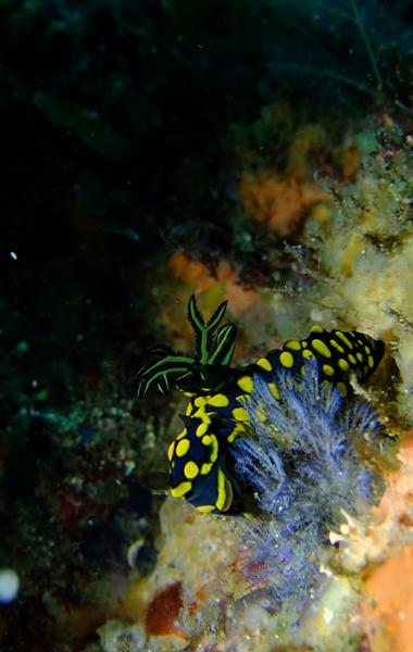 20160514伊豆 ダイビング 伊豆海洋公園 サガミリュウグウウミウシ