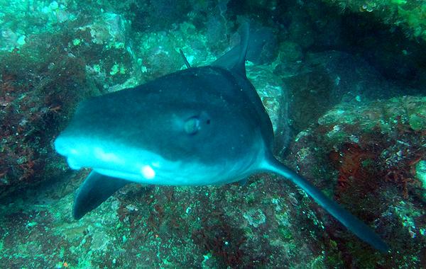 20160513伊豆 ダイビング 伊豆海洋公園 ドチザメ