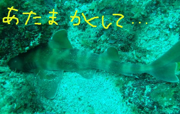 20160513伊豆 ダイビング 伊豆海洋公園 ネコザメ