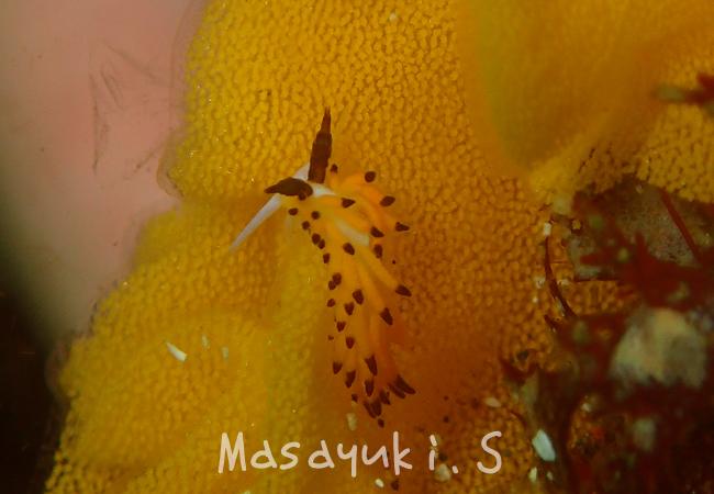 20160706伊豆 ダイビング 伊豆海洋公園 ツガルチゴミノウミウシ