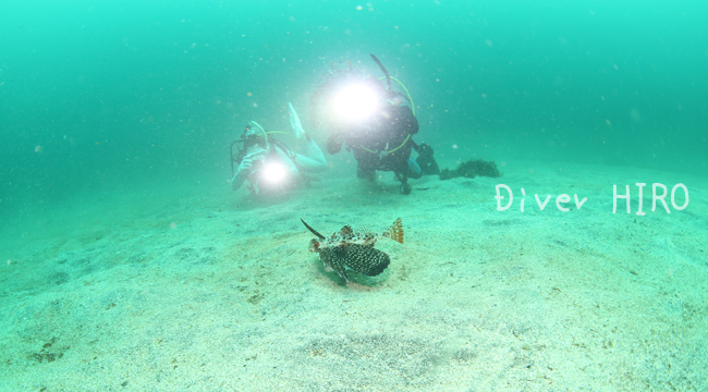 20160721伊豆 ダイビング 伊豆海洋公園 セミホウボウ