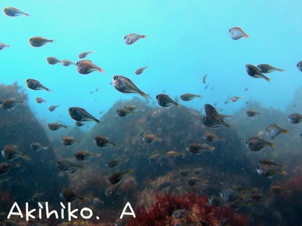 20170101伊豆 ダイビング 伊豆海洋公園 ミナミハタンポ